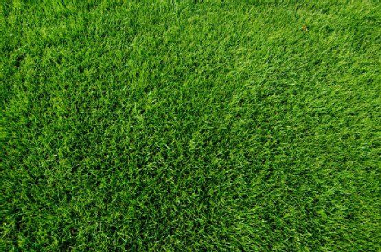 Oz Tuff Australian Couch Sports Turf Grass close