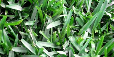 Sir Walter DNA Certified Buffalo Turf Grass