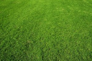 Lush, green buffalo grass