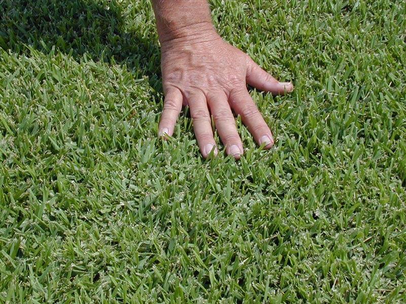 Palmetto Soft Leaf Buffalo Grass 3 Glenview Turf