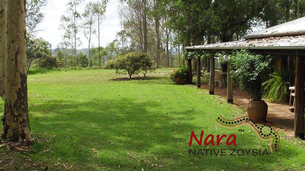 Nara-Native-Zoysia-Image-w2hrr - Glenview Turf