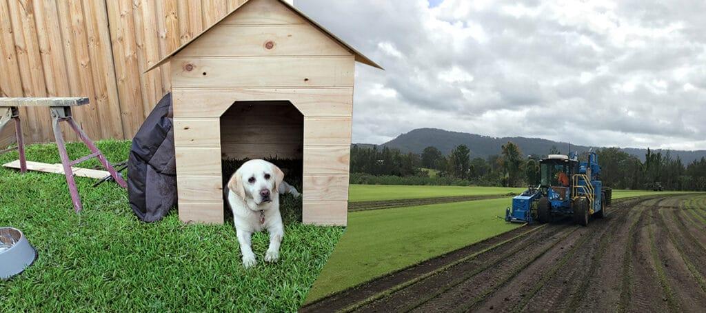 Turf Palmetto Buffalo Turf Grass Dog web4 (2)