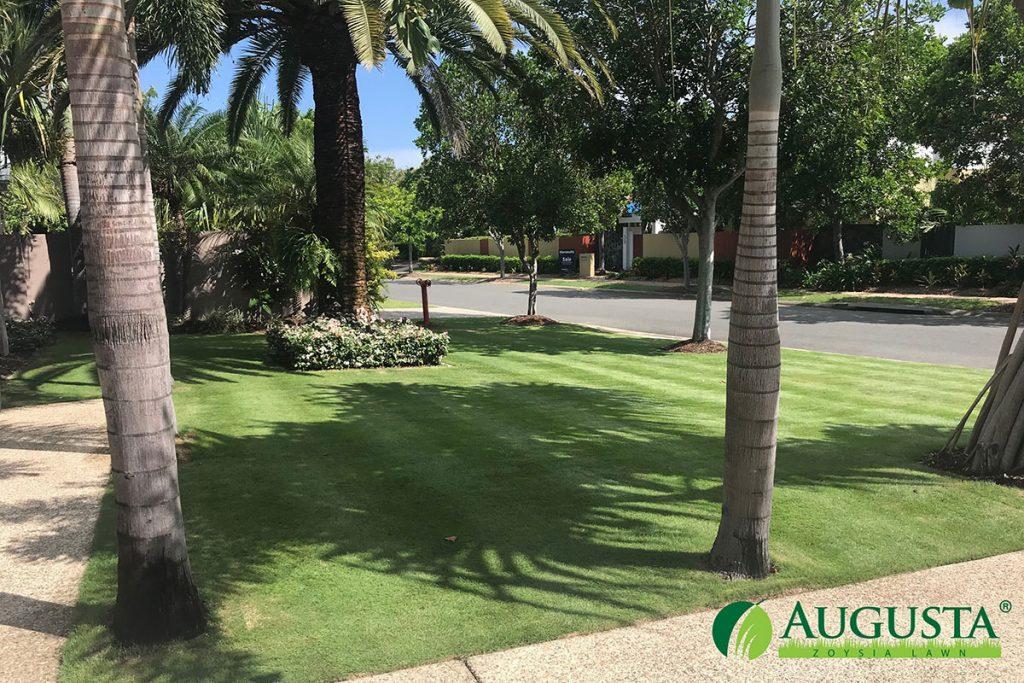 Augusta-Zoysia-Lawn-IMG_2094-1708-2-w - Glenview Turf