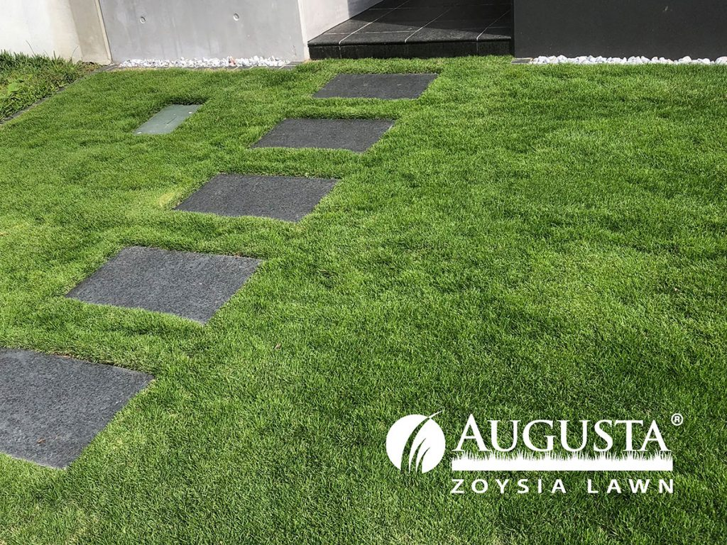 Augusta-Zoysia-Turf-IMG_2093-1708-w - Glenview Turf